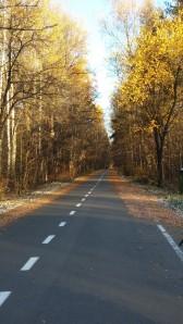 Birch trees in the Sunshine