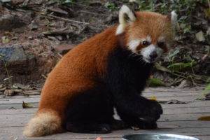 Cute as they are, I didn't want to spend nine days in Chengdu with the Pandas!